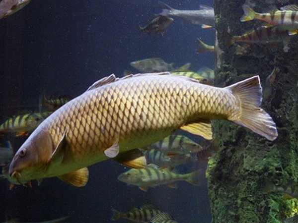 Mơ thấy cá chép đánh con gì vào bờ an toàn?