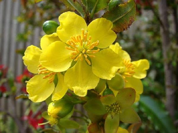 Mơ thấy hoa màu vàng điềm báo hung hay cát?
