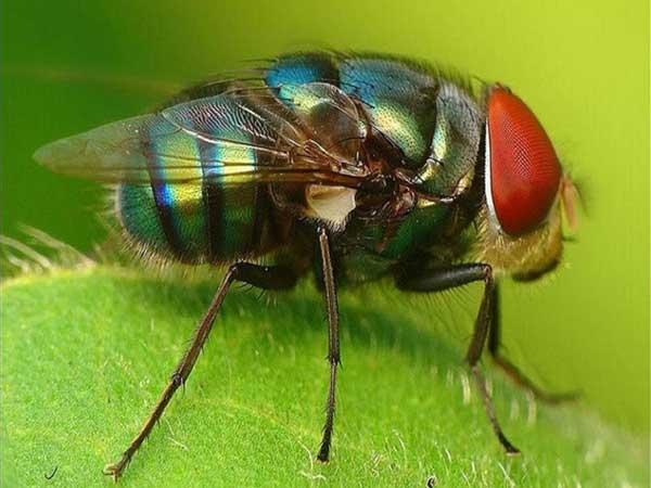Giải mã giấc mơ thấy ruồi là điềm gì?